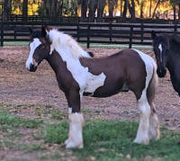 GG Hickory Dickorty TOC, 2017 Gypsy Vanner Horse colt