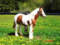 Princess, 2008 Gypsy Vanner Horse filly