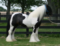Touch of Class, 2007 imported Gypsy Vanner Horse stallion