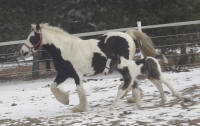 Taffy filly, 2010 Gypsy Vanner Horse foal