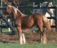 Misty Valley Tallulah, 2016 Gypsy Vanner Horse filly