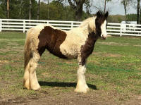 The King's Crown Tallie, 2017 Gypsy Vanner Horse filly