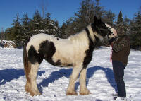 Night Sky Tamara, 2007 Gypsy Vanner Horse filly