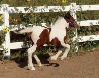 Taskin's Sahara Jewel, 2012 Gypsy Vanner Horse filly