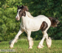 The White Colt, 2013 Gypsy Vanner Horse colt