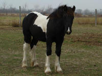 Gemstone Thomsonite, 2009 Gypsy Vanner Horse colt