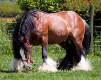 Thomas' Bay Stallion, 2003 imported Gypsy Vanner Horse stallion
