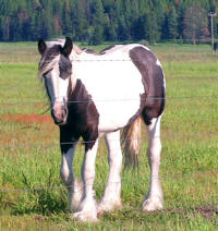 BSG Tia, 2008 Gypsy Vanner Horse filly