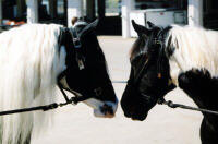 Tinker and full sister Gypsy Queen, Gypsy Vanner Horse mare and colt