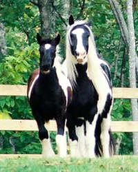 Panda and Tinker Toy, Gypsy Vanner Horse mare & colt