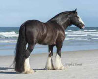 Sovereign's Titus, 2008 Gypsy Vanner Horse stallion