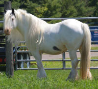 In A Tizzy N'Co, 2005 Gypsy Vanner Horse mare