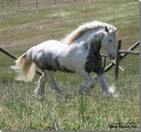 Rock Ranch Tom Boy, imported Gypsy Vanner Horse stallion