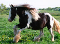 Rock Ranch Tommy Boy Mack, 2008 Gypsy Vanner Horse colt