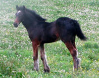Mill Cave Top Shelf, 2015 Gypsy Vanner Horse filly