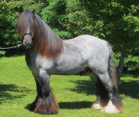 SD Touchdown, imported Gypsy Vanner Horse stallion
