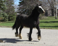 Toy Flower, 2007 imported Gypsy Vanner Horse filly