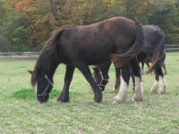 Toy Teddy, 2007 imported Gypsy Vanner Horse filly