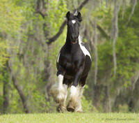 Tinker Toy, Gypsy Vanner Horse colt