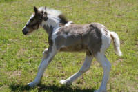 GVR True Blue, 2006 Gypsy Vanner Horse colt