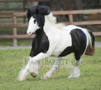 GVR Petal's Flower, 2008 Gypsy Vanner Horse mare