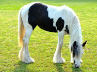 Tupelo Honey, 2014 Gypsy Vanner Horse filly