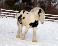 Feathered Gold Turbo Charged, 2013 Gypsy Vanner Horse gelding