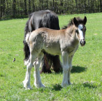 Feathered Gold Black Ty Affair, 2011 Gypsy Vanner Horse colt