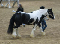 N'Co The Headliner's Understudy, 2010 Gypsy Vanner Horse gelding