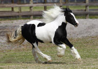 GVR Bo, 2008 Gypsy Vanner Horse filly