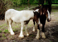 Valley & Sudden, Gypsy Vanner Horse filly and colt