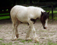 Cushti Bok's Valley, 2002 Gypsy Vanner Horse filly