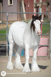 The Victoria's Secret Mare, 2009 Gypsy Vanner Horse mare
