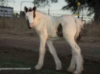 Victoria Secret filly, 2018 Gypsy Vanner Horse foal