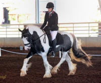 SWF Roses Are Red, Violets Are Blue, 2012 Gypsy Vanner Horse mare