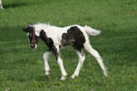 WCF Touch of Whimsey, 2010 Gypsy Vanner Horse filly