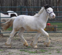 N'Co Mr. Bikers White Squall, 2013 Gypsy Vanner Horse gelding