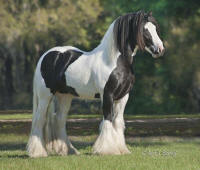 VV King William 2007 Gypsy Vanner Horse stallion