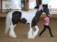 GG Willie The King, 2012 Gypsy Vanner Horse gelding