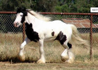 Lion King's Wisdom, 2003 imported Gypsy Vanner Horse stallion
