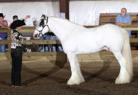 Gypsy Elite Zorro N'Co, 2006 Gypsy Vanner Horse stallion
