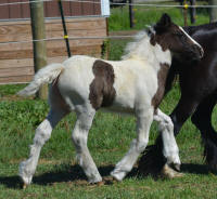 N'Co Zorro's Destiny, 2016 Gypsy Vanner Horse filly