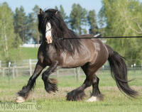 The Real Deal, 2009 imported Gypsy Vanner Horse stallion