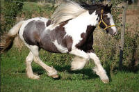 Angel Snorremans van Germania, 2000 Gypsy Vanner Horse mare in Germany