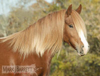 Padparadshah, 2004 imported Gypsy Vanner Horse mare