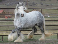 Kizzy, 2007 Gypsy Vanner Horse mare