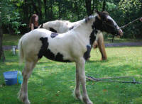 MNM Belle of The Ball, 2009 Gypsy Vanner Horse filly