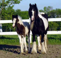 Miss Cookie, Gypsy Vanner Horse filly
