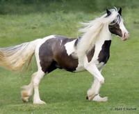 2003 mare Vintage Vanners Carmanet Time, 2003 Gypsy Vanner Horse mare