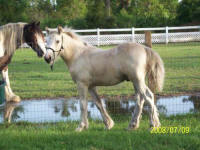 Chance's Charm N Luck, 2008 Gypsy Vanner Horse colt